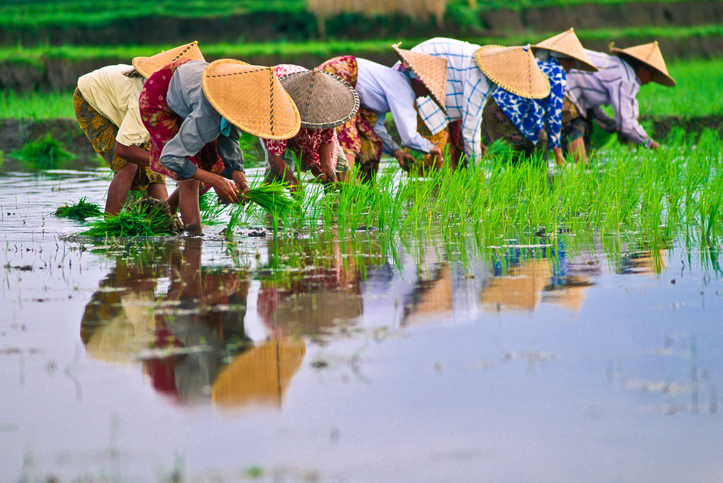 Rice planting, South East Asia.
